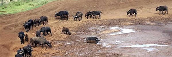 Herd of Buffalo at Aberdare National Park
