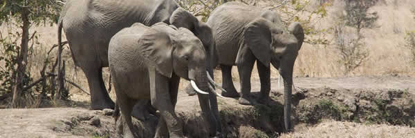 Elephants in the Rufiji River
