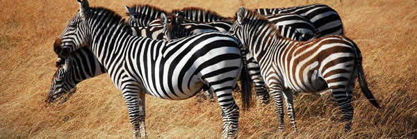 Zebras Huddle Together at Serengeti