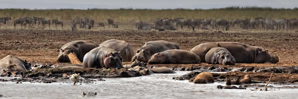 Hippopotamus In a Mud Pool