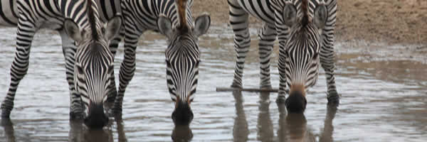 Zebra's Drink Water From River